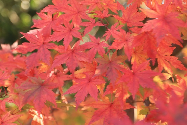 多気PAの紅葉(撮影:12月1日)_e0321325_14495212.jpg
