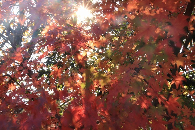 多気PAの紅葉(撮影:12月1日)_e0321325_14500298.jpg