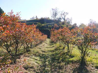 フレッシュブルーベリー 紅葉と冬の剪定開始!おしどり夫婦が元気に頑張っています(前編)_a0254656_17540470.jpg