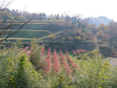 フレッシュブルーベリー 紅葉と冬の剪定開始!おしどり夫婦が元気に頑張っています(前編)_a0254656_17572121.jpg