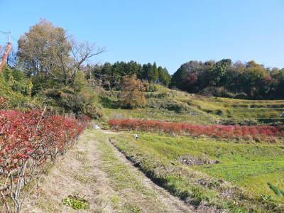 フレッシュブルーベリー 紅葉と冬の剪定開始!おしどり夫婦が元気に頑張っています(前編)_a0254656_17585185.jpg