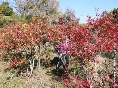フレッシュブルーベリー 紅葉と冬の剪定開始!おしどり夫婦が元気に頑張っています(前編)_a0254656_18260008.jpg