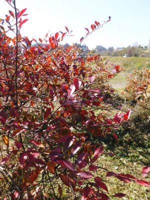 フレッシュブルーベリー 紅葉と冬の剪定開始!おしどり夫婦が元気に頑張っています(前編)_a0254656_18324322.jpg