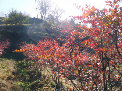 フレッシュブルーベリー 紅葉と冬の剪定開始!おしどり夫婦が元気に頑張っています(前編)_a0254656_18352920.jpg