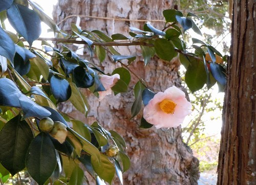 路傍の花、樹々の鳥(360) ~ 千年の社の椿 ~_b0102572_10250010.jpg
