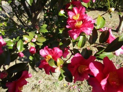 富浜緑地にて、サザンカの花が咲いています♫_d0338682_14401907.jpg