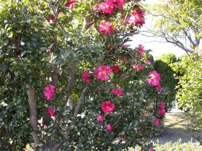 富浜緑地にて、サザンカの花が咲いています♫_d0338682_14422764.jpg