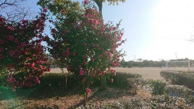 富浜緑地にて、サザンカの花が咲いています♫_d0338682_14424919.jpg