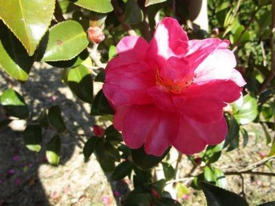 富浜緑地にて、サザンカの花が咲いています♫_d0338682_14425822.jpg
