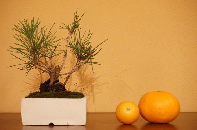 お正月飾り 松の盆栽ワークショップ 〜榊麻美植物研究所〜_d0348118_19093954.jpeg