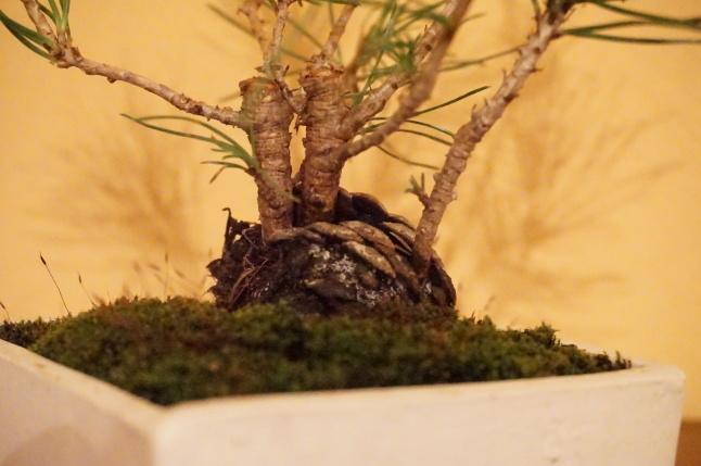 お正月飾り 松の盆栽ワークショップ 〜榊麻美植物研究所〜_d0348118_19145855.jpeg