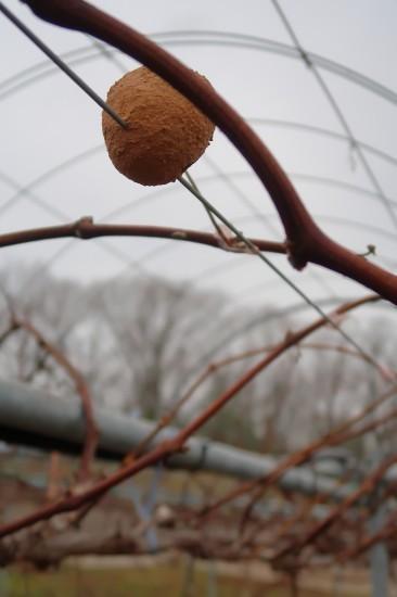 曇天で寒い葡萄園_d0336530_20013304.jpg
