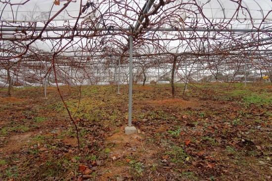 曇天で寒い葡萄園_d0336530_20013392.jpg