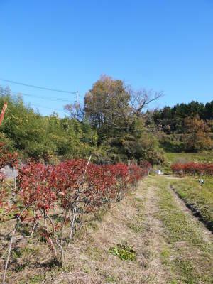 フレッシュブルーベリー 紅葉と冬の剪定開始!おしどり夫婦が元気に頑張っています(後編)_a0254656_17294806.jpg