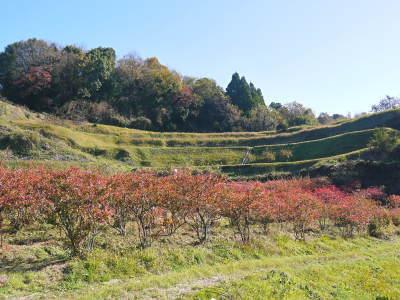 フレッシュブルーベリー 紅葉と冬の剪定開始!おしどり夫婦が元気に頑張っています(後編)_a0254656_17345628.jpg