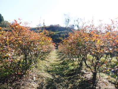 フレッシュブルーベリー 紅葉と冬の剪定開始!おしどり夫婦が元気に頑張っています(後編)_a0254656_17393164.jpg