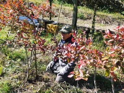 フレッシュブルーベリー 紅葉と冬の剪定開始!おしどり夫婦が元気に頑張っています(後編)_a0254656_17545239.jpg