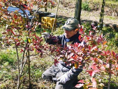 フレッシュブルーベリー 紅葉と冬の剪定開始!おしどり夫婦が元気に頑張っています(後編)_a0254656_17574768.jpg