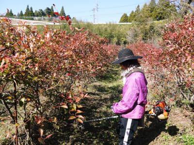 フレッシュブルーベリー 紅葉と冬の剪定開始!おしどり夫婦が元気に頑張っています(後編)_a0254656_17593764.jpg