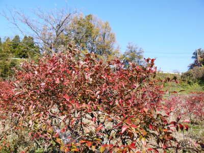 フレッシュブルーベリー 紅葉と冬の剪定開始!おしどり夫婦が元気に頑張っています(後編)_a0254656_18135600.jpg