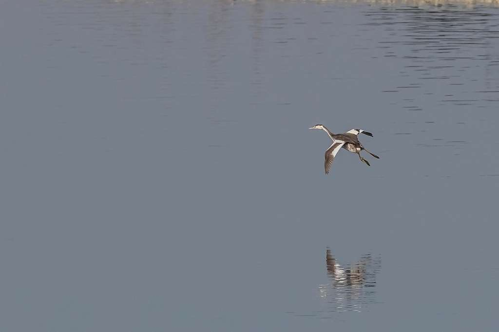 カンムリカイツブリの飛翔_f0044056_09512065.jpg