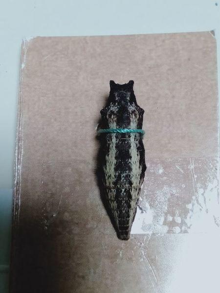 キアゲハの蛹_c0162128_19325415.jpg