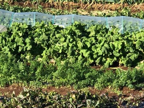 今朝の畑・・クリスマス 年末&年始はジョイア野菜 タップリお皿に登場しまします お楽しみに!_c0222448_11063888.jpg