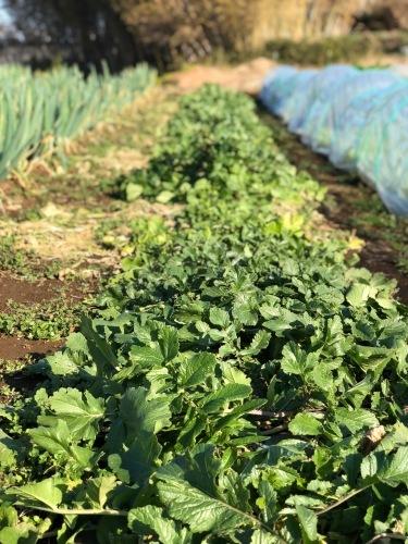 今朝の畑・・クリスマス 年末&年始はジョイア野菜 タップリお皿に登場しまします お楽しみに!_c0222448_11084189.jpg