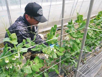 """スナップエンドウ「シャキ甘""""菊光""""」 一次の芽カギ作業終了!今年も湿度管理もばっちりです(2019)_a0254656_17463444.jpg"""