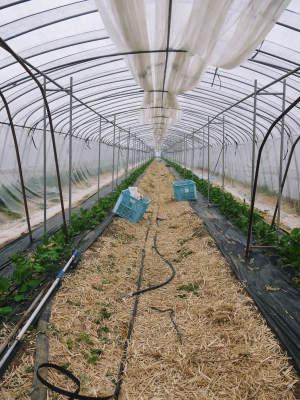 """スナップエンドウ「シャキ甘""""菊光""""」 一次の芽カギ作業終了!今年も湿度管理もばっちりです(2019)_a0254656_18005875.jpg"""