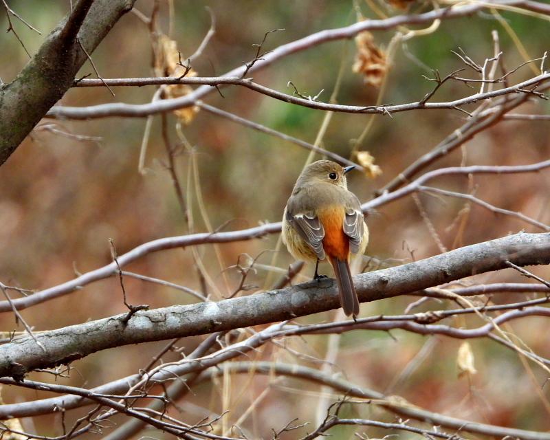 嶺公園で ~ 小鳥たち ~_c0305565_17254997.jpg
