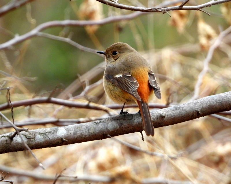嶺公園で ~ 小鳥たち ~_c0305565_17255922.jpg