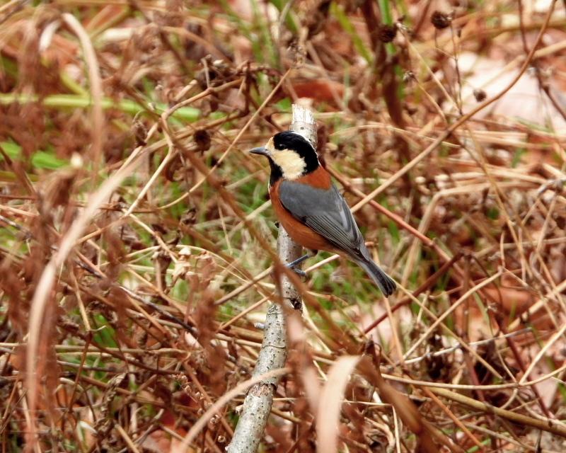 嶺公園で ~ 小鳥たち ~_c0305565_17283790.jpg