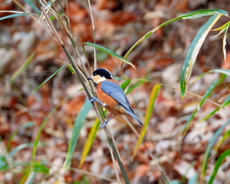 嶺公園で ~ 小鳥たち ~_c0305565_17284977.jpg