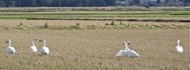 白鳥来越_b0163804_14393324.jpg