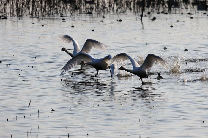 MFの沼でハクチョウを(城沼~多々良沼へ)_f0239515_16321336.jpg