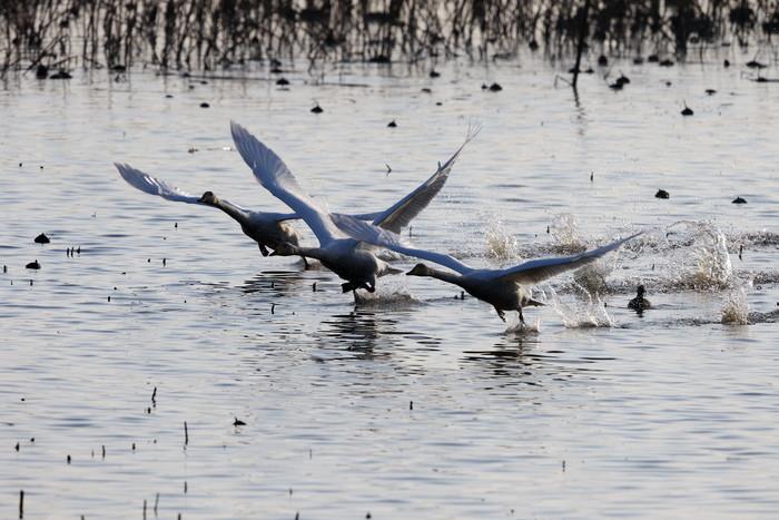 MFの沼でハクチョウを(城沼~多々良沼へ)_f0239515_16324251.jpg