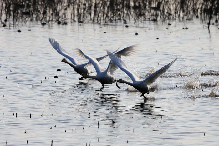 MFの沼でハクチョウを(城沼~多々良沼へ)_f0239515_16332071.jpg