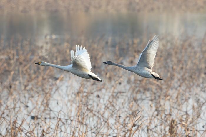 MFの沼でハクチョウを(城沼~多々良沼へ)_f0239515_16341548.jpg