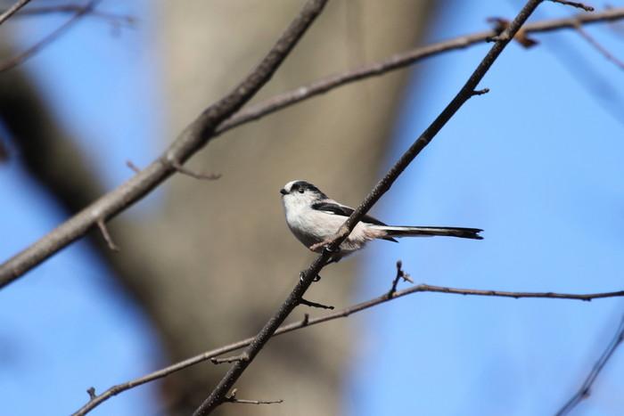 久しぶりのMFの森での探鳥(エナガ)_f0239515_17553913.jpg