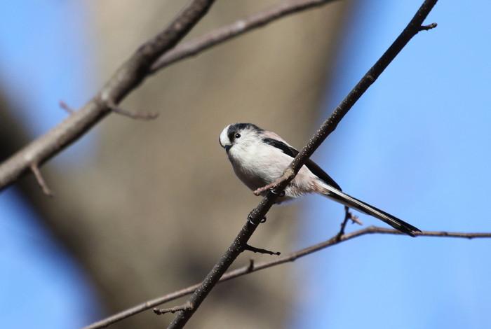 久しぶりのMFの森での探鳥(エナガ)_f0239515_17562321.jpg