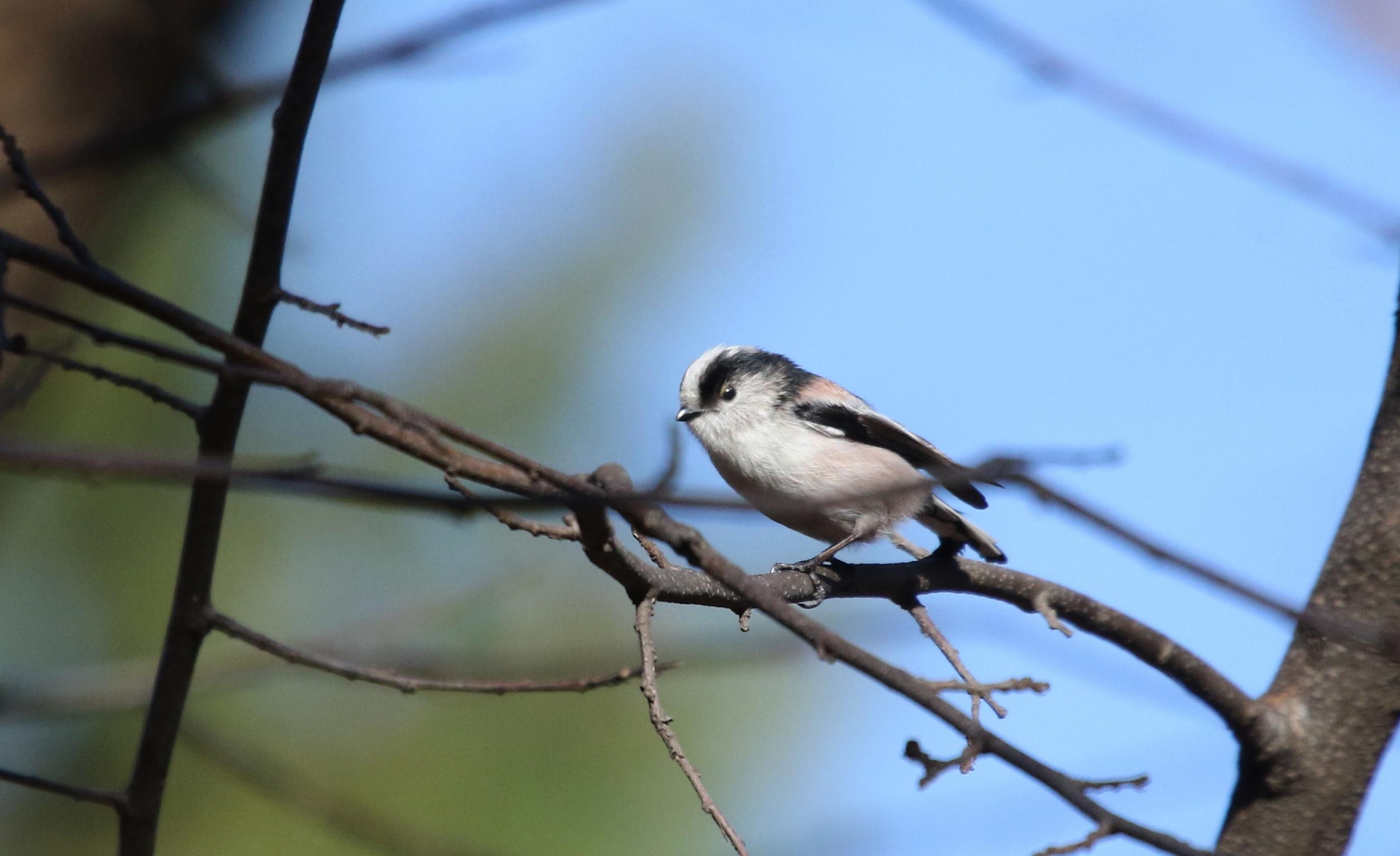 久しぶりのMFの森での探鳥(エナガ)_f0239515_17565889.jpg