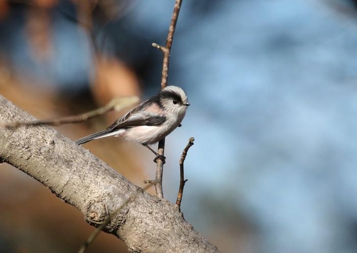 久しぶりのMFの森での探鳥(エナガ)_f0239515_17574937.jpg