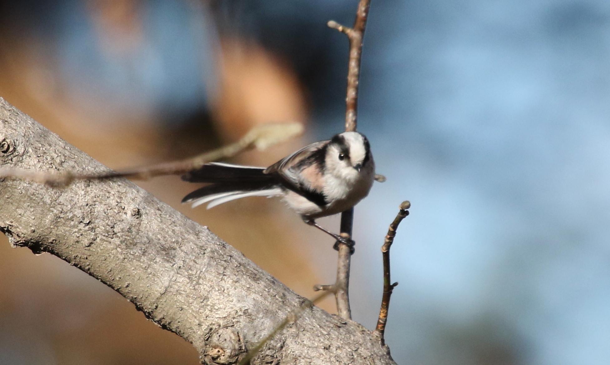 久しぶりのMFの森での探鳥(エナガ)_f0239515_17582075.jpg