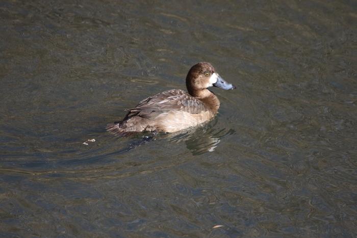 MFの沼でハクチョウを(城沼~多々良沼へ)_f0239515_1871531.jpg