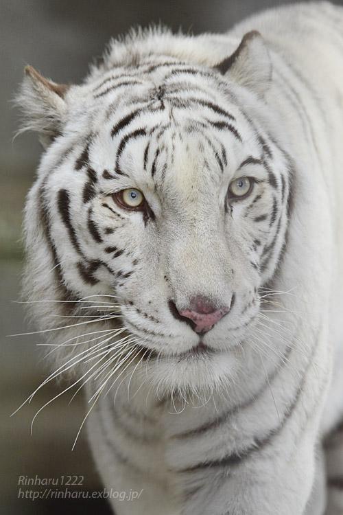 2019.12.21 東北サファリパーク☆ホワイトタイガーのマリンくん【White tiger】_f0250322_22191356.jpg