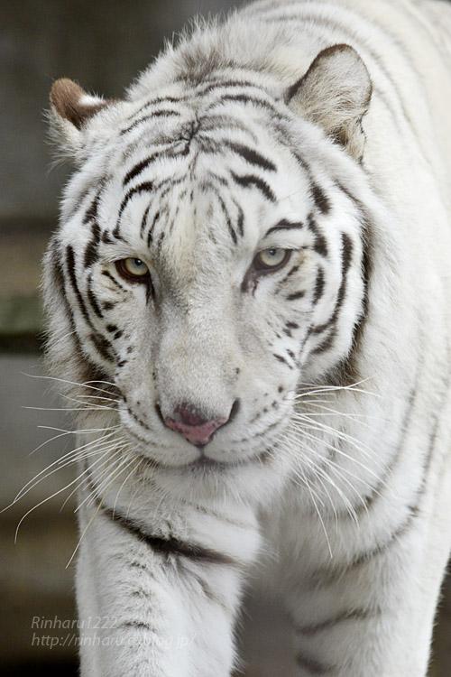 2019.12.21 東北サファリパーク☆ホワイトタイガーのマリンくん【White tiger】_f0250322_22192351.jpg