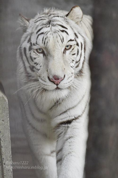 2019.12.21 東北サファリパーク☆ホワイトタイガーのマリンくん【White tiger】_f0250322_22193322.jpg