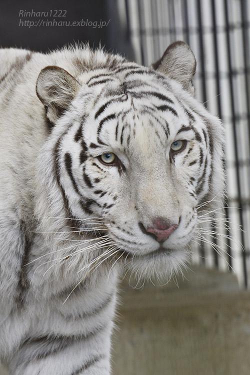 2019.12.21 東北サファリパーク☆ホワイトタイガーのマリンくん【White tiger】_f0250322_22194133.jpg