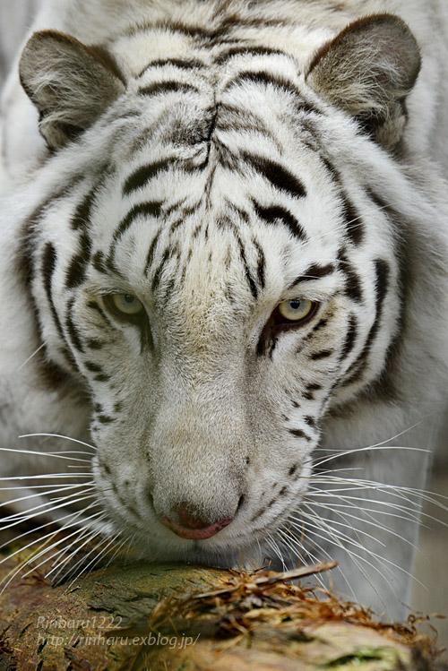 2019.12.21 東北サファリパーク☆ホワイトタイガーのマリンくん【White tiger】_f0250322_2219763.jpg